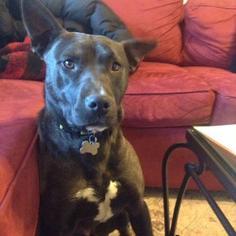 Meja - Pit Bull Terrier Dog For Adoption