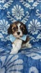 Cavachon-Cavalier King Charles Spaniel Mix Puppy For Sale in EDEN, PA, USA