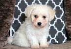 Bichon Frise Puppy For Sale in MOUNT JOY, PA, USA