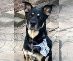 Small #1 German Shepherd Dog-Labrador Retriever Mix