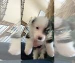 Puppy 2 Aussie-Corgi