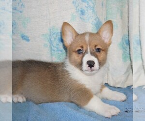 Pembroke Welsh Corgi Puppy for sale in FORT PLAIN, NY, USA