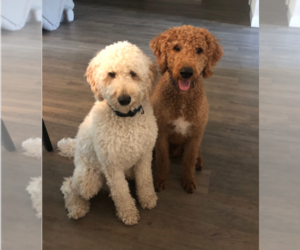 Labradoodle Puppy for sale in PALM COAST, FL, USA