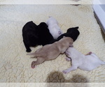Labrador Retriever Puppy For Sale in MARYDEL, MD, USA