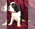 Puppy 9 English Springer Spaniel