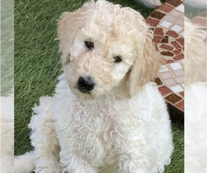 Poodle (Standard) Puppy for sale in BAYWOOD PARK, CA, USA