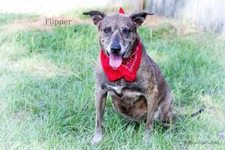 Flipper - Terrier / German Shepherd Dog / Mixed Dog For Adoption