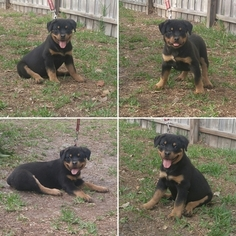 Rottweiler Puppy For Sale in PALM COAST, FL