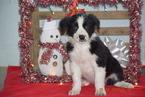 Border Collie-Norwegian Elkhound Mix Puppy For Sale in FREDERICKSBURG, OH, USA