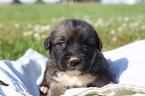Caucasian Shepherd Dog Puppy For Sale in GLASGOW, KY, USA