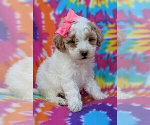 Cantel Puppy for sale in LANCASTER, PA, USA