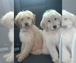 Small #38 Goldendoodle-Poodle (Standard) Mix
