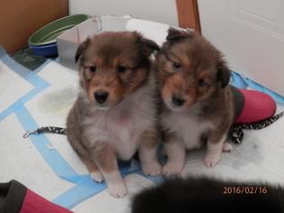 Shetland Sheepdog Puppy for sale in SPOTSYLVANIA, VA, USA