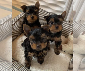 Yorkshire Terrier Puppy for sale in TROY, MI, USA