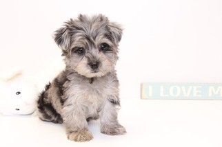 View Ad Yorkie Poo Puppy For Sale Florida Naples Usa