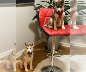 Siberian Husky Puppy for sale in ATL, GA, USA