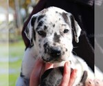 Small Great Dane