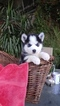 Siberian Husky Puppy For Sale in FRESNO, California,