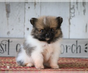Pomeranian Puppy for sale in FREDERICKSBG, OH, USA