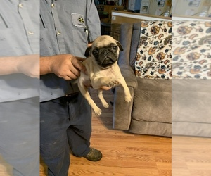 Pug Puppy for sale in SUMTER, SC, USA