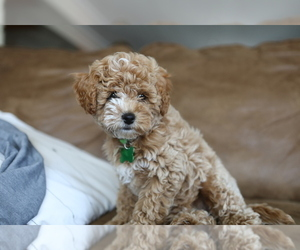 Cavapoo-Poodle (Miniature) Mix Puppy for Sale in GOSHEN, Indiana USA