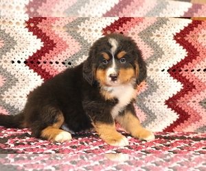 Bernese Mountain Dog Puppy for sale in SHILOH, OH, USA