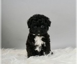Puppy 3 Australian Shepherd-Poodle (Toy) Mix