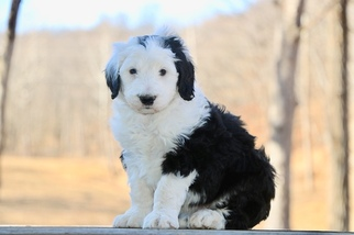 Sheepadoodle Puppy For Sale in CHILLICOTHE, MO, USA