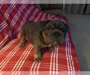 English Bulldog Puppy for sale in IONE, CA, USA
