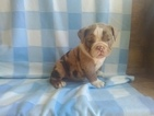 English Bulldogge Puppy For Sale in EPHRATA, Pennsylvania,