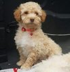 Poodle (Miniature) Puppy For Sale in KILLEEN, TX