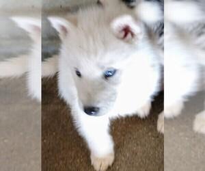 Medium Siberian Husky