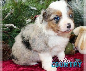 Miniature Australian Shepherd Puppy for Sale in CEDAR CITY, Utah USA