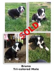 Border Collie Puppy For Sale in CLOVIS, CA