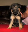 German Shepherd Dog Puppy For Sale in MERCEDES, TX