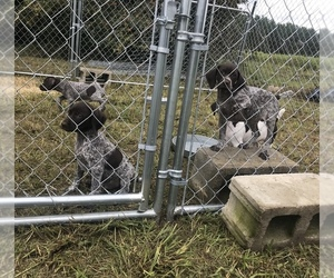 German Shorthaired Pointer Puppy for sale in LAWRENCEVILLE, VA, USA