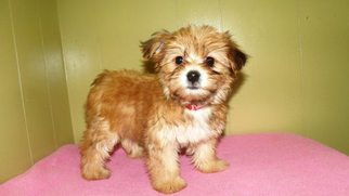 View Ad Poodle Toy Yorkshire Terrier Mix Puppy For Sale Near New