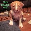 American Bulldog Pups ready for FUREVER home