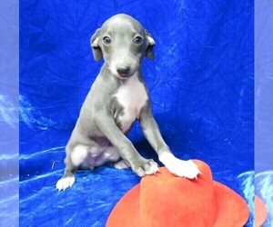 Italian Greyhound Puppy for sale in NORWOOD, MO, USA