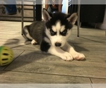 Puppy 2 American Pit Bull Terrier-Siberian Husky Mix