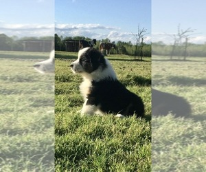 Australian Shepherd Puppy for sale in AUSTIN, AR, USA