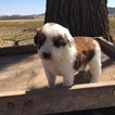 Aussie-Poo Puppy For Sale in BOYCEVILLE, WI, USA