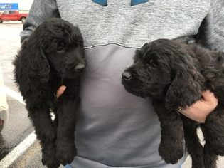 Goldendoodle Puppy for sale in WRIGHT CITY, MO, USA