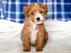 Mini Poodle Puppy For Sale
