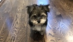 Small #2 Morkie