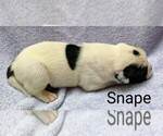 Small #23 American Bulldog