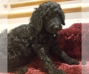 Double Doodle Puppy for Sale in SUGARLOAF, Pennsylvania USA