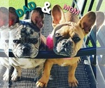Small Photo #8 French Bulldog Puppy For Sale in N LAS VEGAS, NV, USA