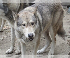 Mother of the Wolf Hybrid puppies born on 05/31/2020