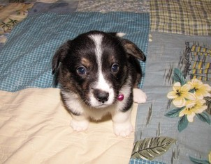 Welsh Cardigan Corgi Puppy For Sale in MILWAUKEE, WI, USA